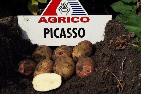 """Сорт картофеля """"Пикассо"""""""