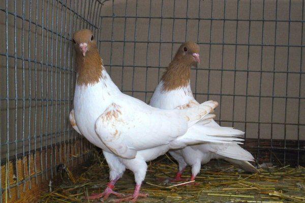 иранские головатые щекатые голуби купить