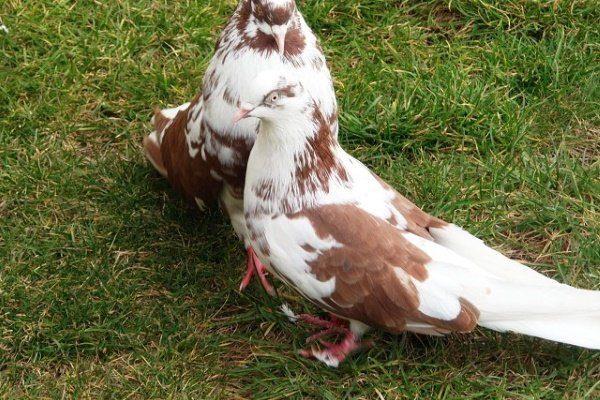 Выгул голубей