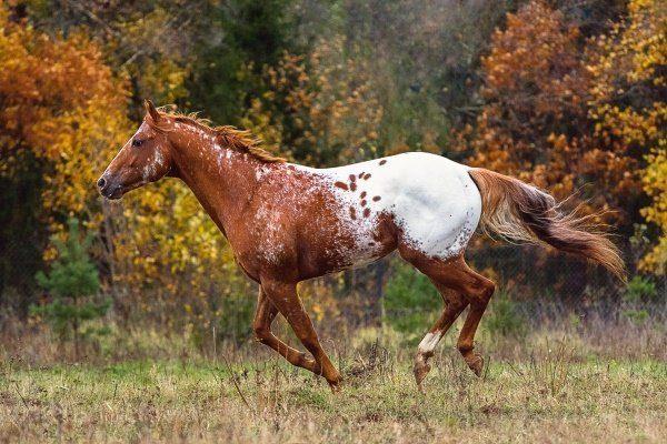 Порода лошади Аппалуза