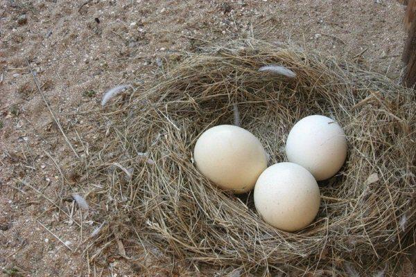 Яйца нанду