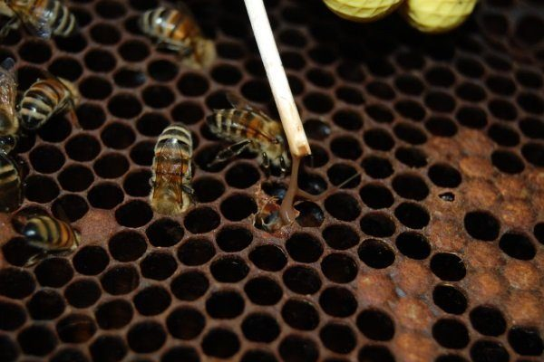 Лечение гнильца у пчел чистотелом