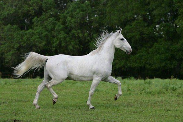 Липпицианская лошадь
