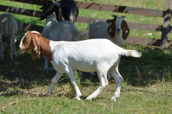 Выгул козы