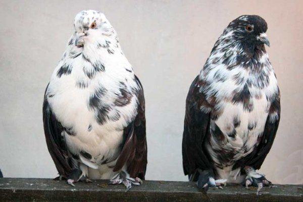 Мypые голуби