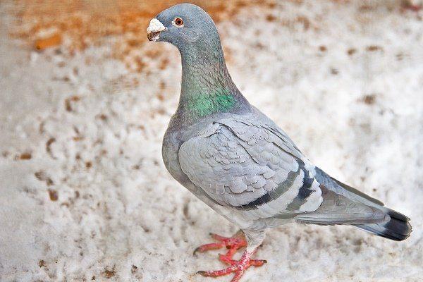 Немецкий голубь