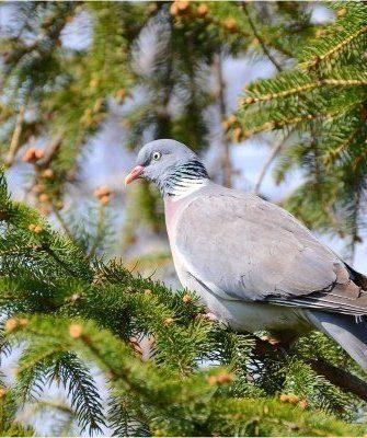 Голубь на дереве