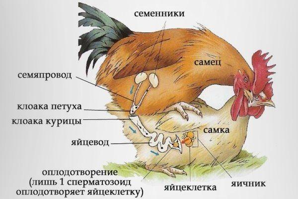 Спаривание курицы и петуха