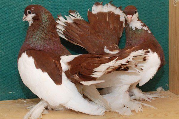 Волжский ленточный голубь
