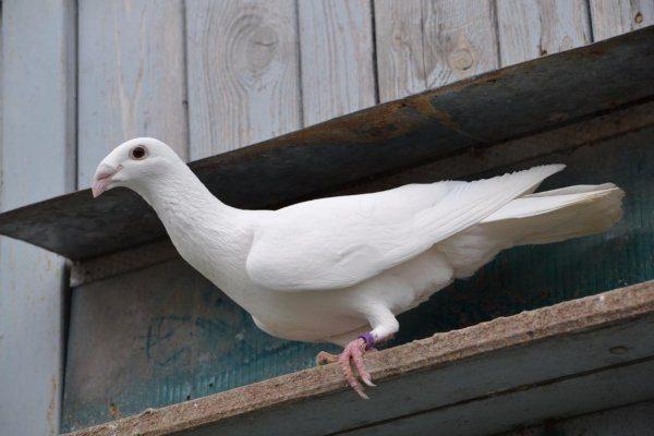 Русский голубь