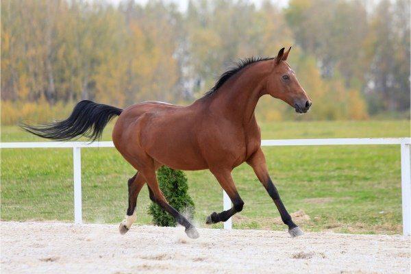 Чалая лошадь разновидности внешний вид