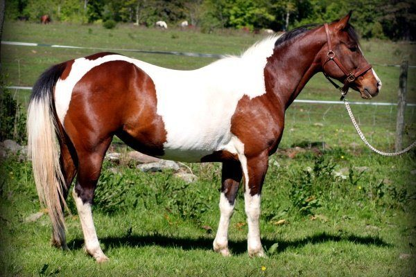 Дикая лошадь Пинто