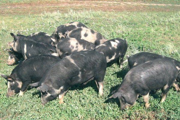 Украинская степная рябая порода свиней