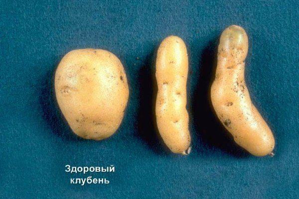 Готика клубней картофеля