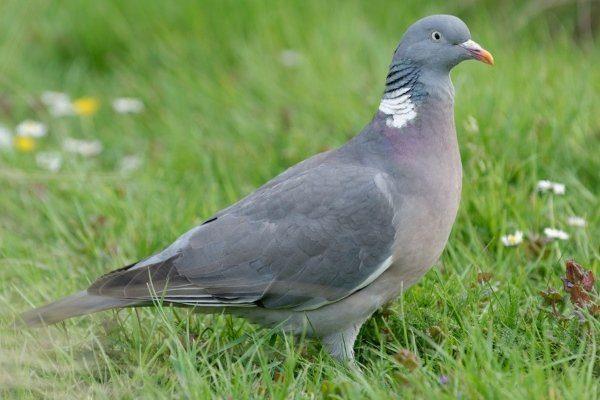 Дикий лесной голубь – Вяхирь