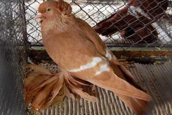 Саксонский полевой голубь