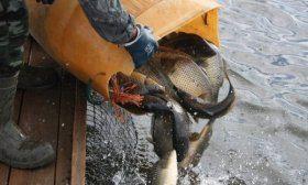 Зарыбление водоёма рыбой