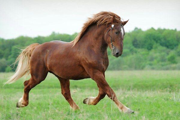 Советская лошадь
