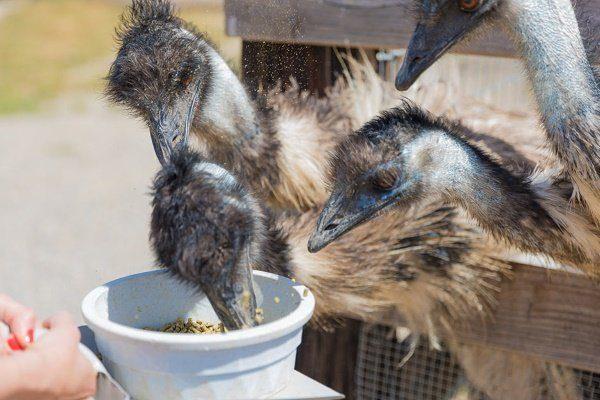 Страусы едят комбикорм