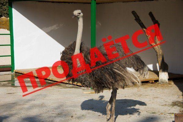 Продажа страусов