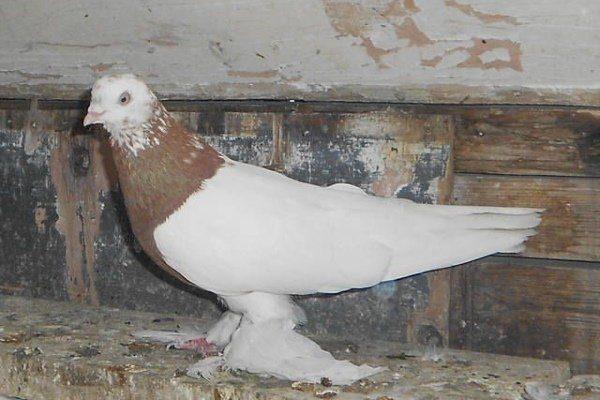 Бесчубые голуби