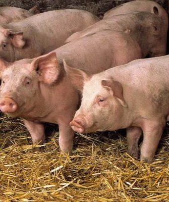 Свиньи в хозяйстве