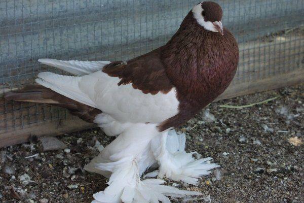 Ленточные голуби