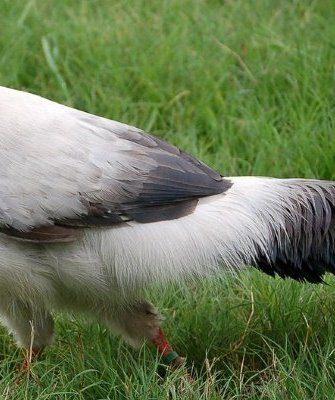 Белый фазан