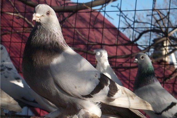 Майкопские голуби