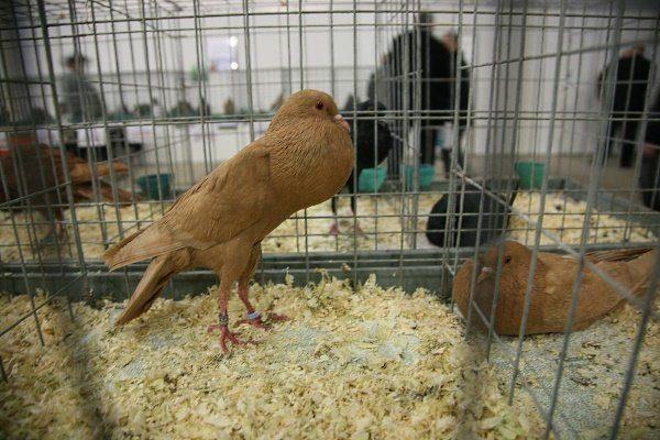 Карликовый голубь