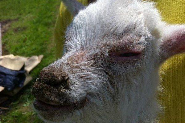 Вавки на морде коз