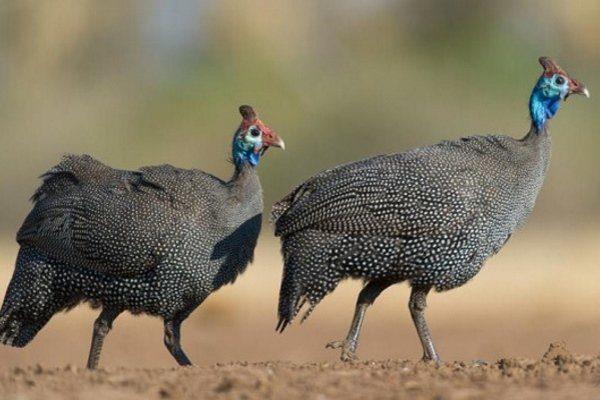 Самка и самец цесарки