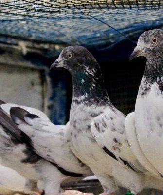 Индопакистанская высоколетная порода голубей