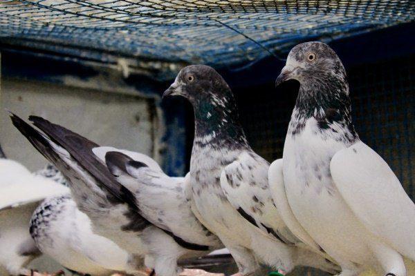 Бойные голуби: виды, фото и описание