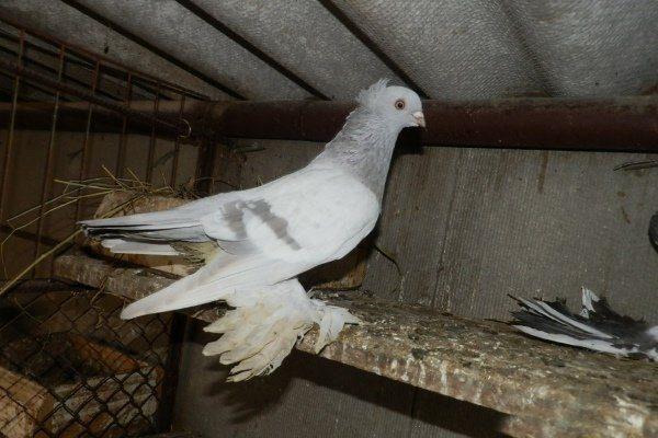 Чубатые голуби