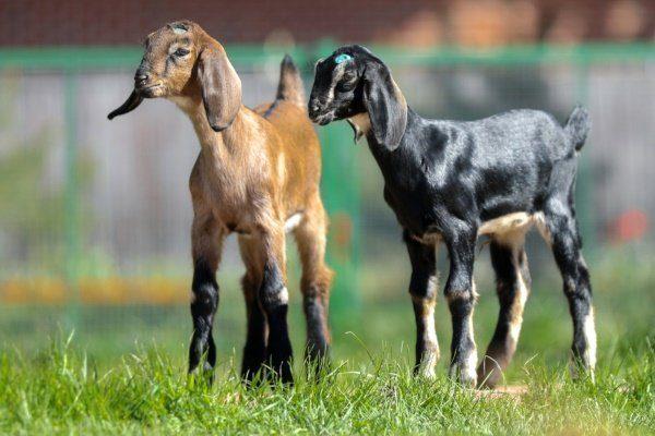 Козлята нубийской козы