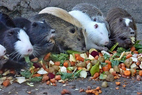 Нутрии едят овощи