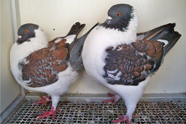 Модена или Моденский голубь