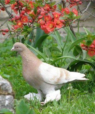 Порода голубей Туркменские агараны