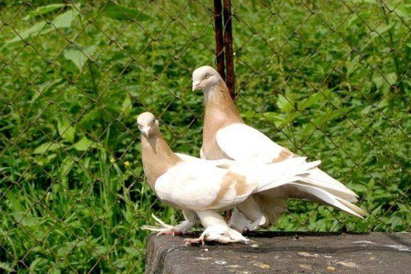 Туркменские голуби