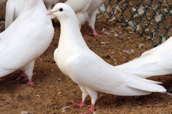 Бакинские белые голоногие