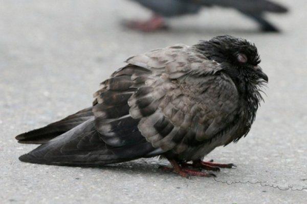 Взлохмаченный голубь