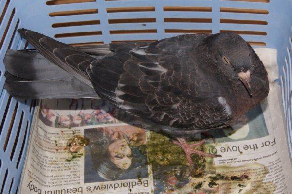 Кокцидоз у голубя