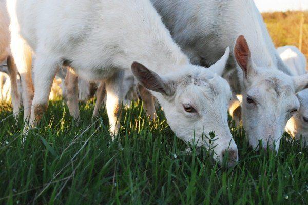 Выгул коз