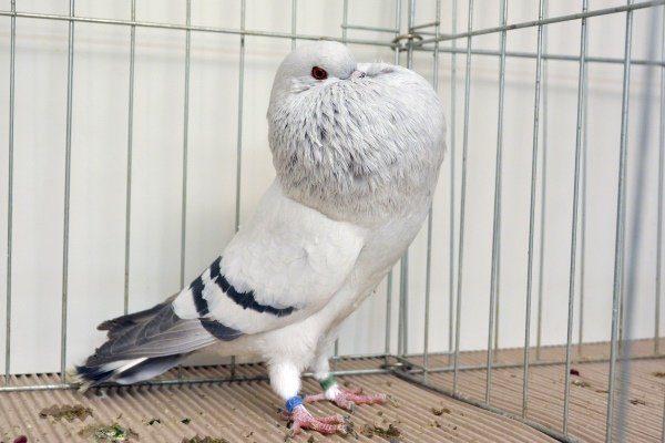 Брненский голубь