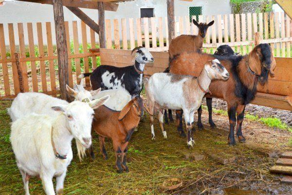Трудно ли держать козу