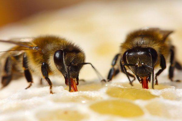 Выработка мёда пчелой