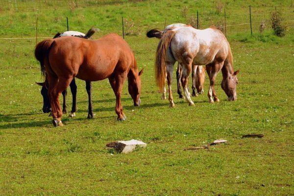 Выпас лошадей