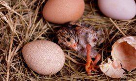 Инкубация яиц цесарки