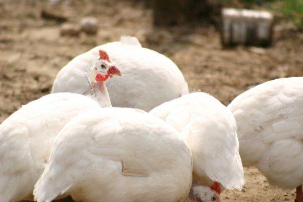 Белые цесарки